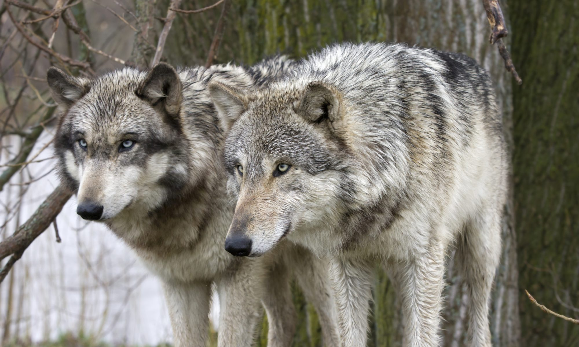 Choices: the story of two wolves - KeliFernie.com